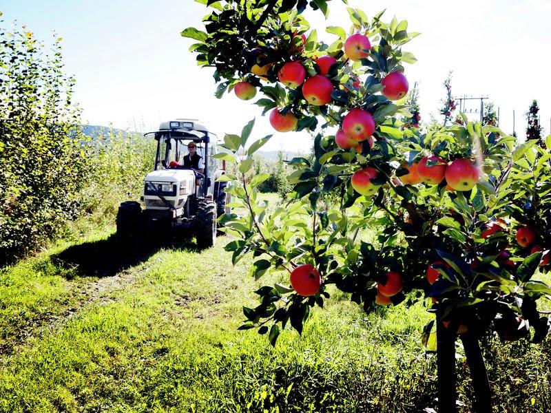 Norske epler på epletrær