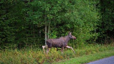 Перебегающий через дорогу олень – одна из самых распространенных причин столкновения на шоссе.