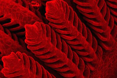Mikroskopbilde av gjeller