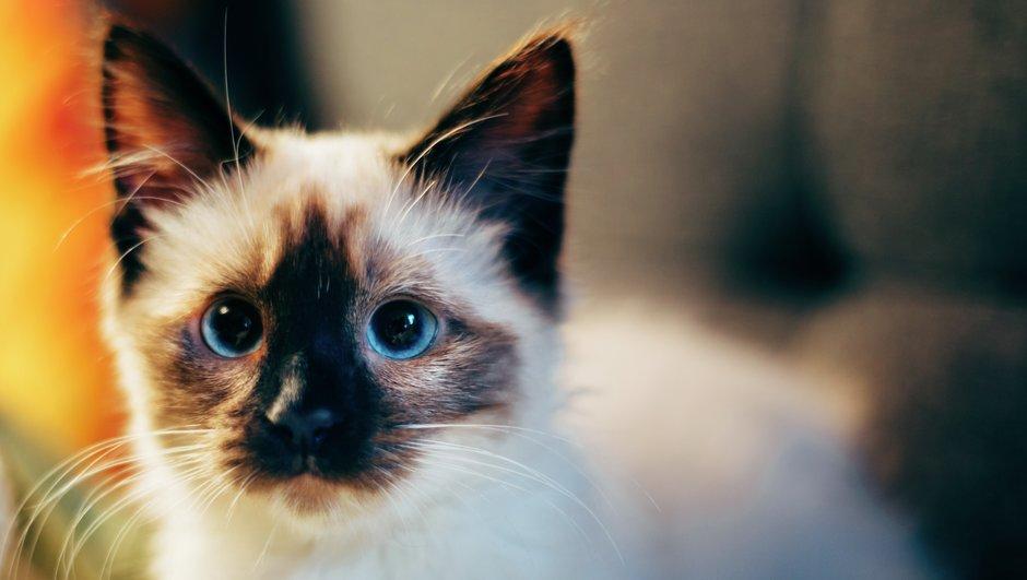 Vithårig katt