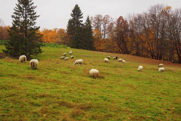 Norsk lam og sau på beite