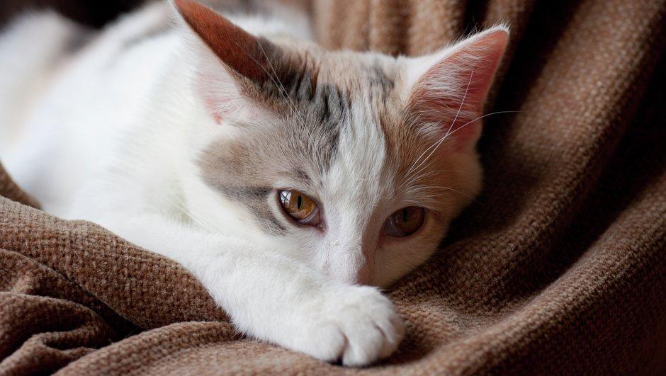 Katt vilar