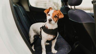 Koira seisoo auton takapenkillä