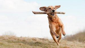 blandrashund