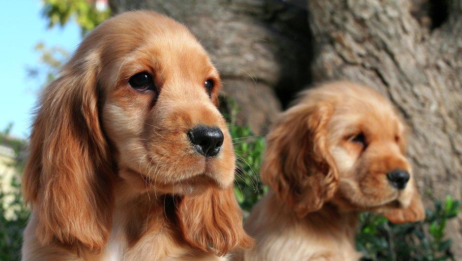 Ja izvēlaties nelietot pilienus, variet sunim aplikt pretērču kakla siksnu.