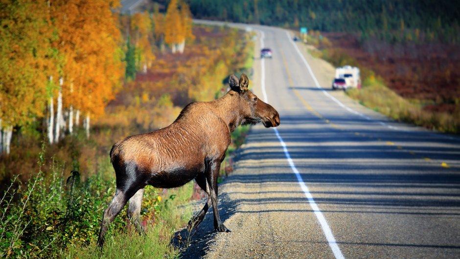 Metslooma kindlustus ehk kasko - metsloomaga kokkupõrkel on omavastutus 0e