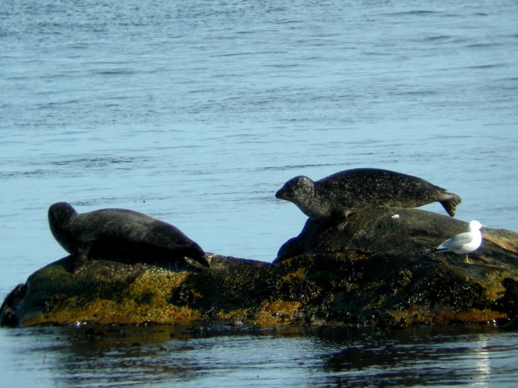 Foto av to steinkobbar/fjordselar som sit på eit skjær. Det sit ein måse ved sidan av dei.