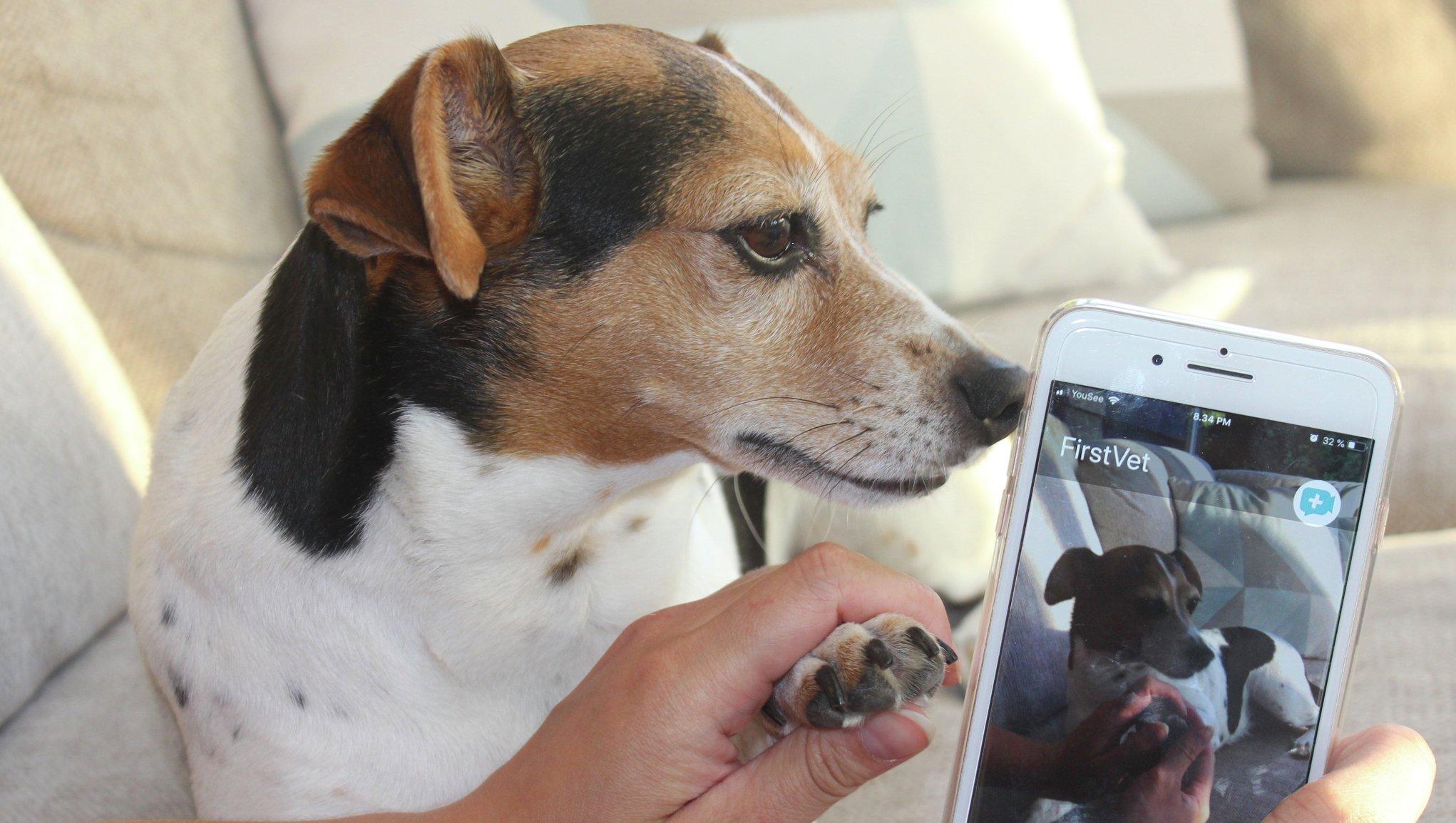 Jack russel på veterinärbesök