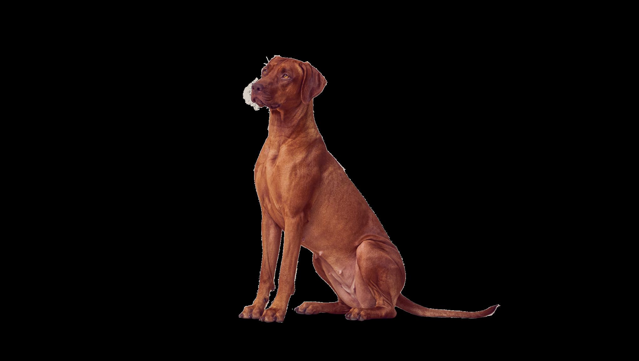 Istuva koira