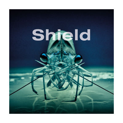 Shield shrimp image
