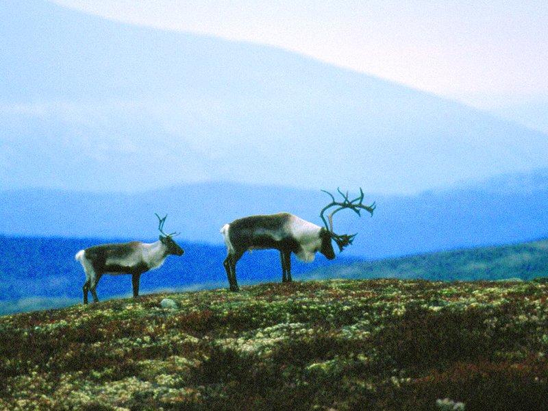 Carpaccio av Gilde Høyfjellsrein fra Jotunheimen og Valdres . Foto: Lisa Westgaard