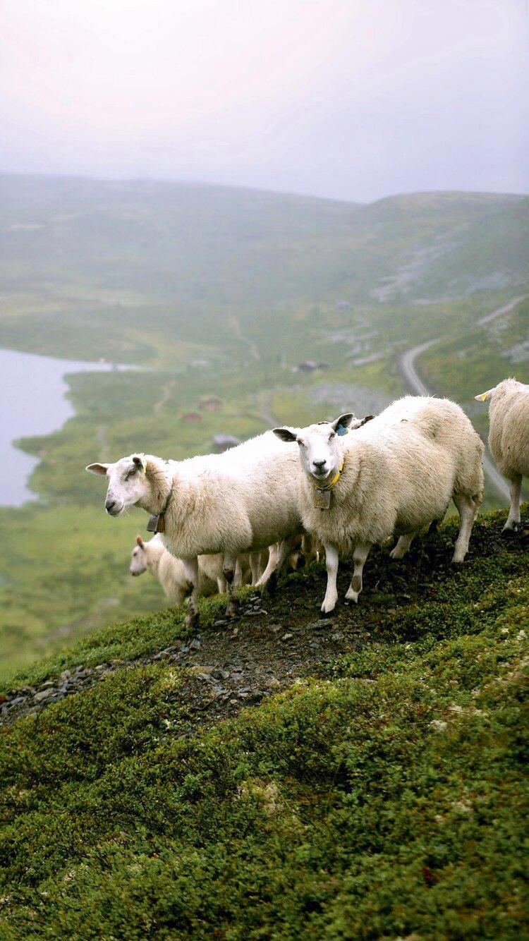 Norsk lam på beite