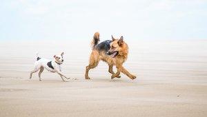 Två hundar på stranden