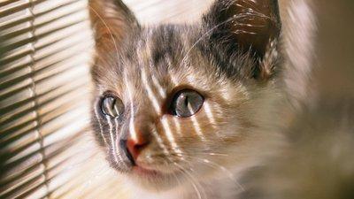 Kissa katsoo ulos säleverhojen takaa