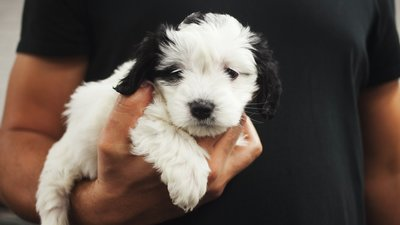 Liten vit hundvalp