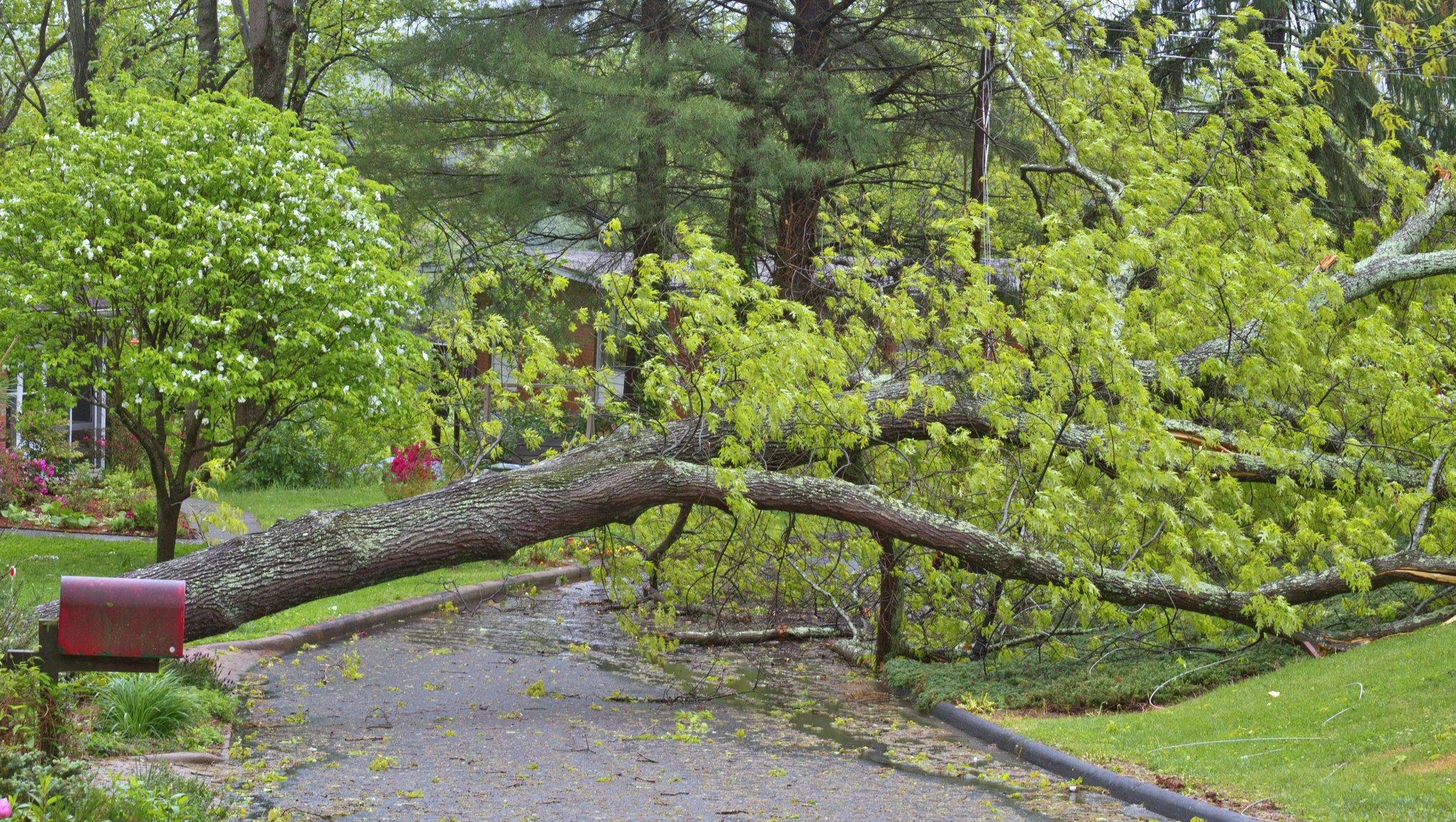 Omkullblåst träd