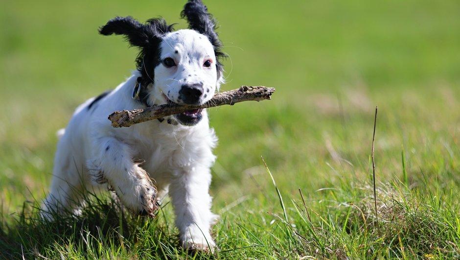 Koira juoksee kepin kanssa