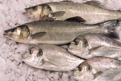 Bass and bream on ice