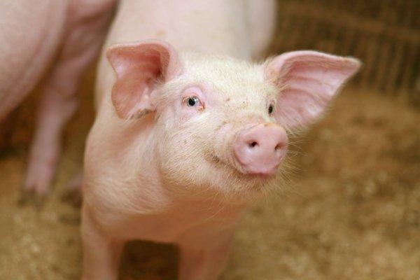 Fant ikke MRSA hos norske svin i 2020