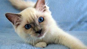 Katt med blåa ögon