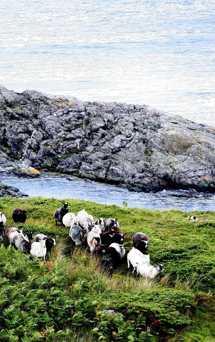 Villsau frå Norskekysten. Foto: Eivor Eriksen