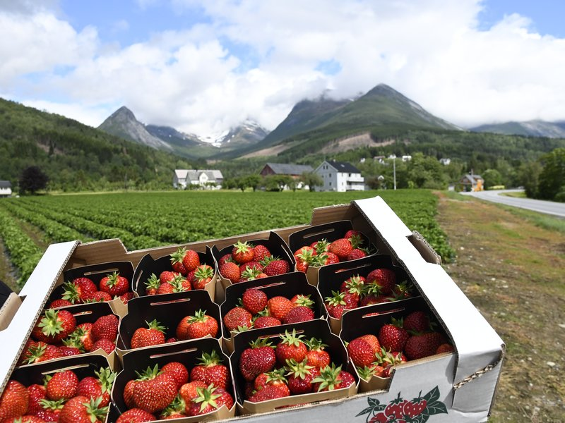 Jordbær fra Valldal: I Valldal ligger gårdene på rekke og rad nedover dalen, og jordbæra her er berømt for den gode, søte smaken