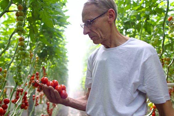 Norske tomater merket med Nyt Norge